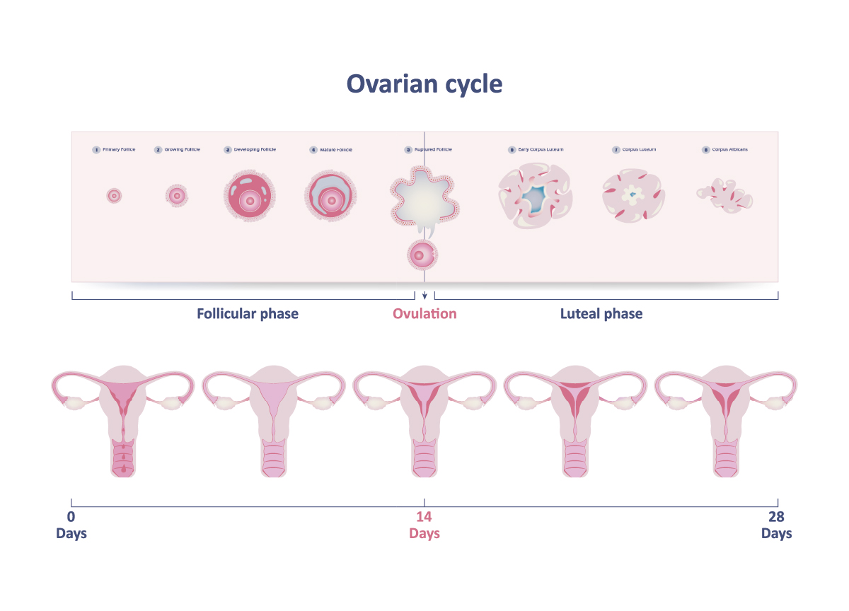 ovulation menstrual cycle
