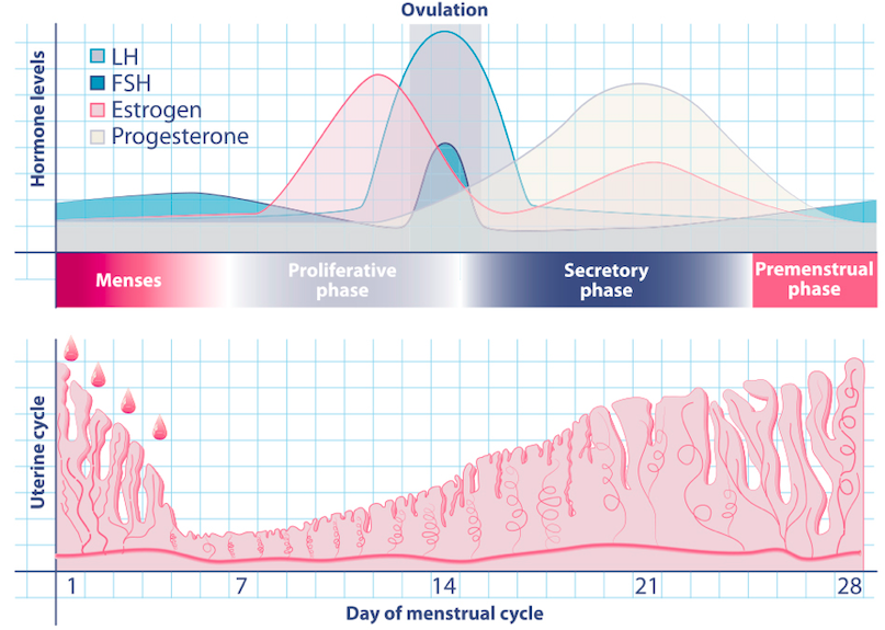 Menstrual Cycle Estrogen FSH follicle stimulating hormone luteinizing hormone